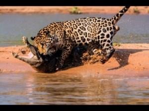 Video: Jaguar Attacks Caiman Crocodile with a Skull Crushing Bite in HD
